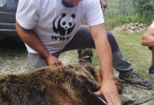 упояват мечка за да я преместят безопасно